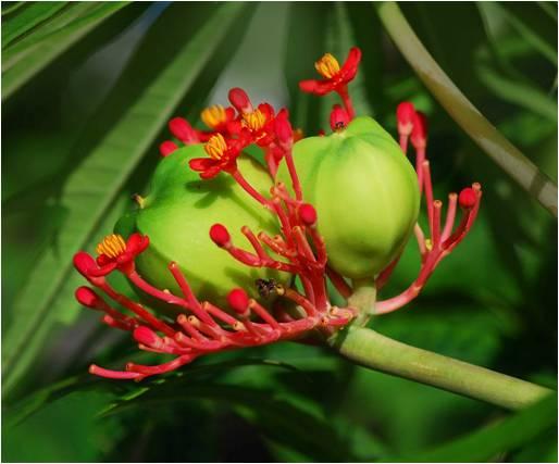 Jatrophamultifida, Corail, fruit, île Maurice, parPancrat– Travail personnel. GFDL sous CC BY-SA 3.0