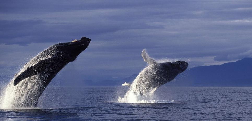 Humpback whale.Megaptera novaeangliae.Breaching. Inside Passage, Southeast Alaska